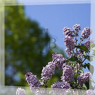 Web_lilacs